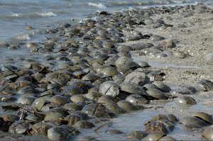 Horseshoe Crabs at Delaware BayTHIS