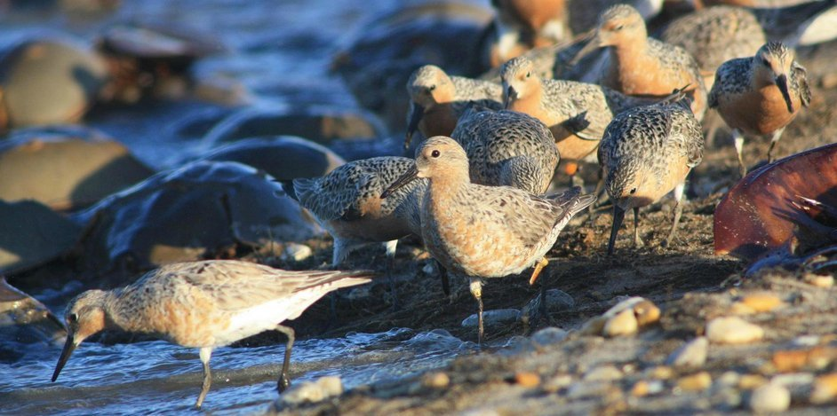 10,000 Years and Counting: The Story of the Red Knot and the Horseshoe Crab