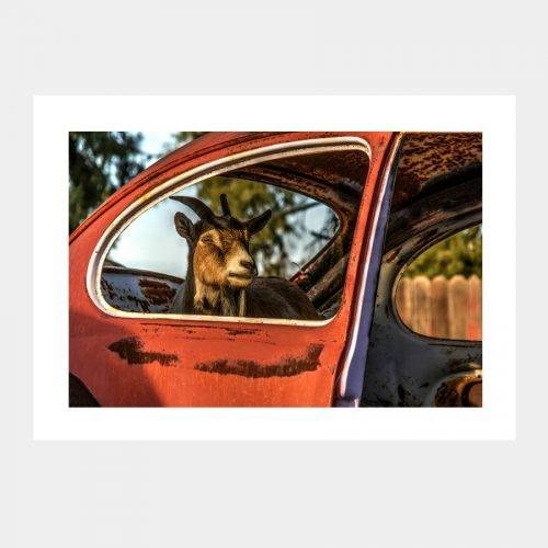 Goat in VW Bug Notecard