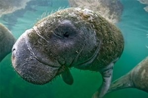 Manatee with Green Hair