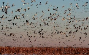 Snow Geese at Blackwater National Wildlife Refuge on the Eastern Shore of Maryland