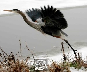 Wintry MIx: The Takeoff--Heron Taking Flight on the Eastern Shore of Maryland
