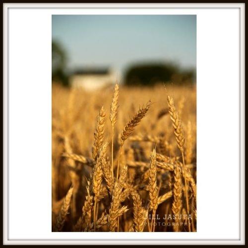Eastern Shore Field of Wheat Photo Print
