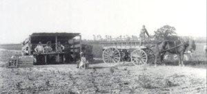 Strawberry farming in 1896 at the J.R. Roose farm near Milford, DE