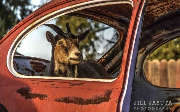 Goat in a VW Bug Photo Print