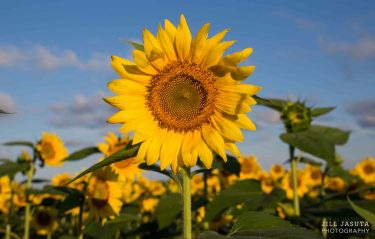 Sunflowers Photo