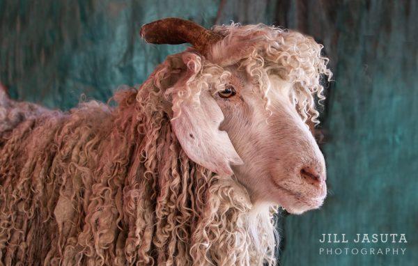 Fabio the Goat