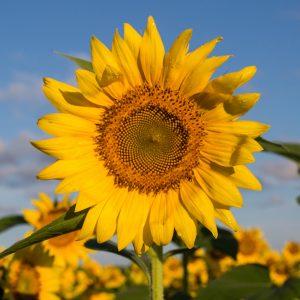 Sunflower Canvas Block