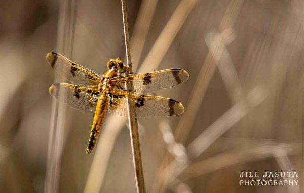 Golden Dragonfly by Jill Jasuta Photography