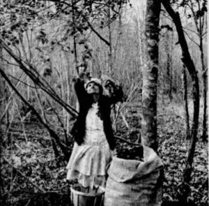 Mrs. J.H. Lare of Federalsburg Md. Harvesting Holly